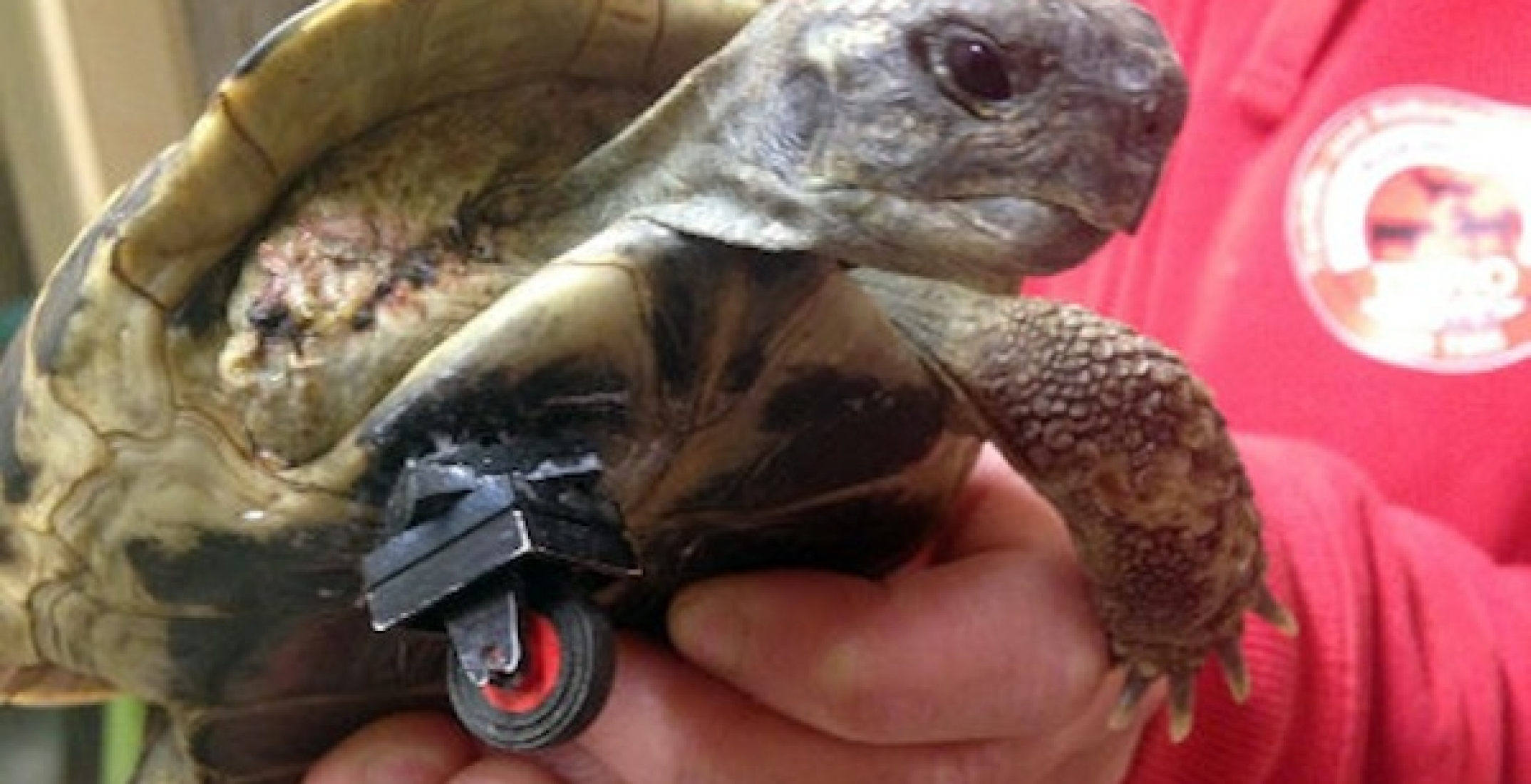 Amputee Tortoise Gets A LEGO Wheel To Replace Its Leg